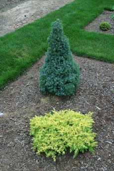 Juniperus conferta `All Gold'