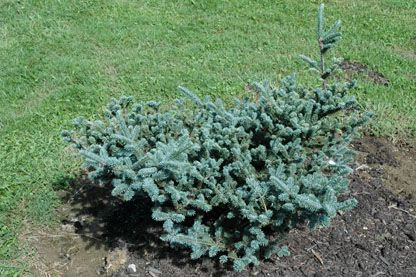 Abies Fraseri Blue Bonnet Stanley And Sons Nursery