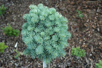 Abies Concolor Blue Sapphir Stanley And Sons Nursery
