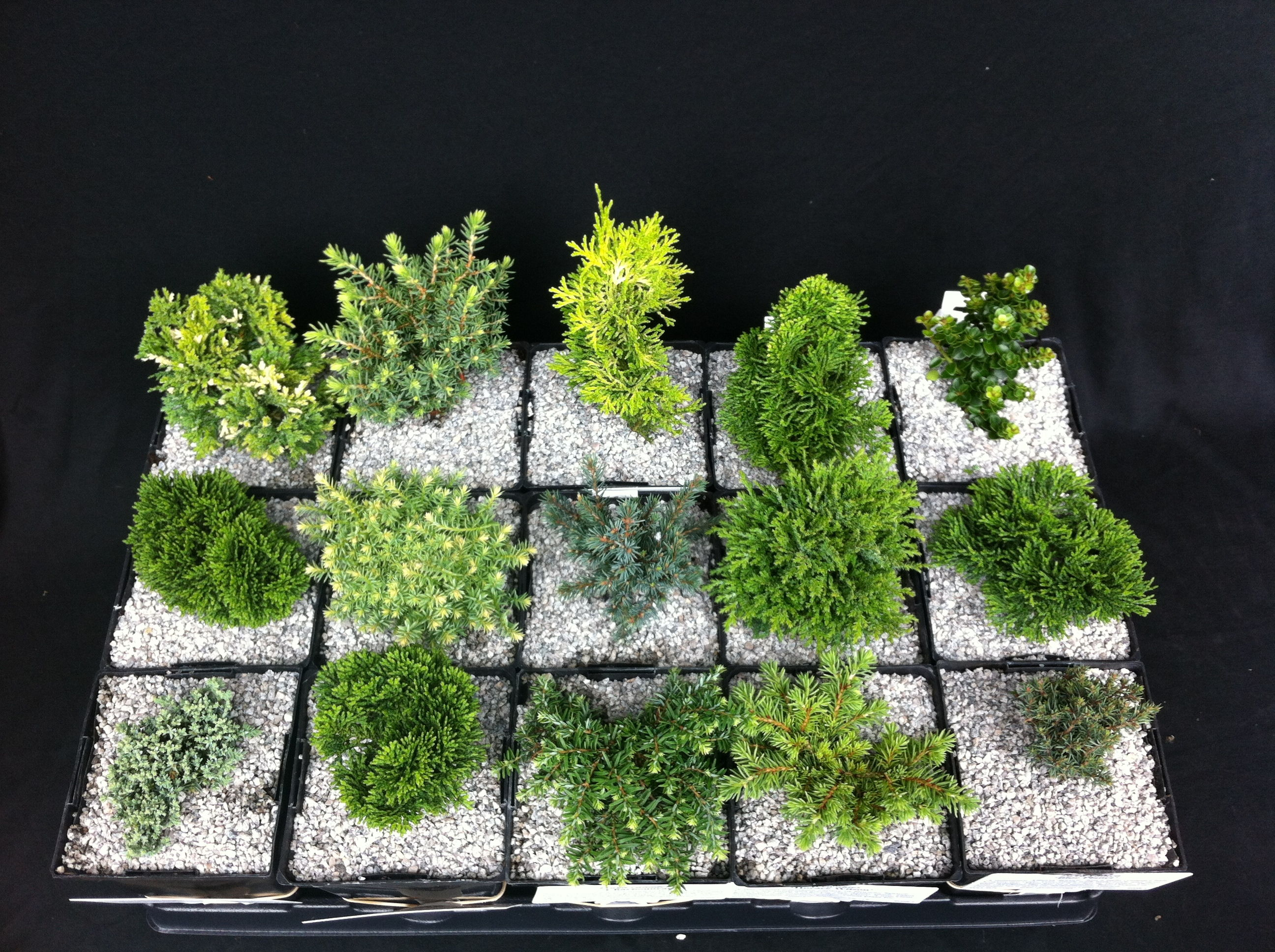 "4"" Miniature Plant Collection (Zone 5) - DWF 0550"
