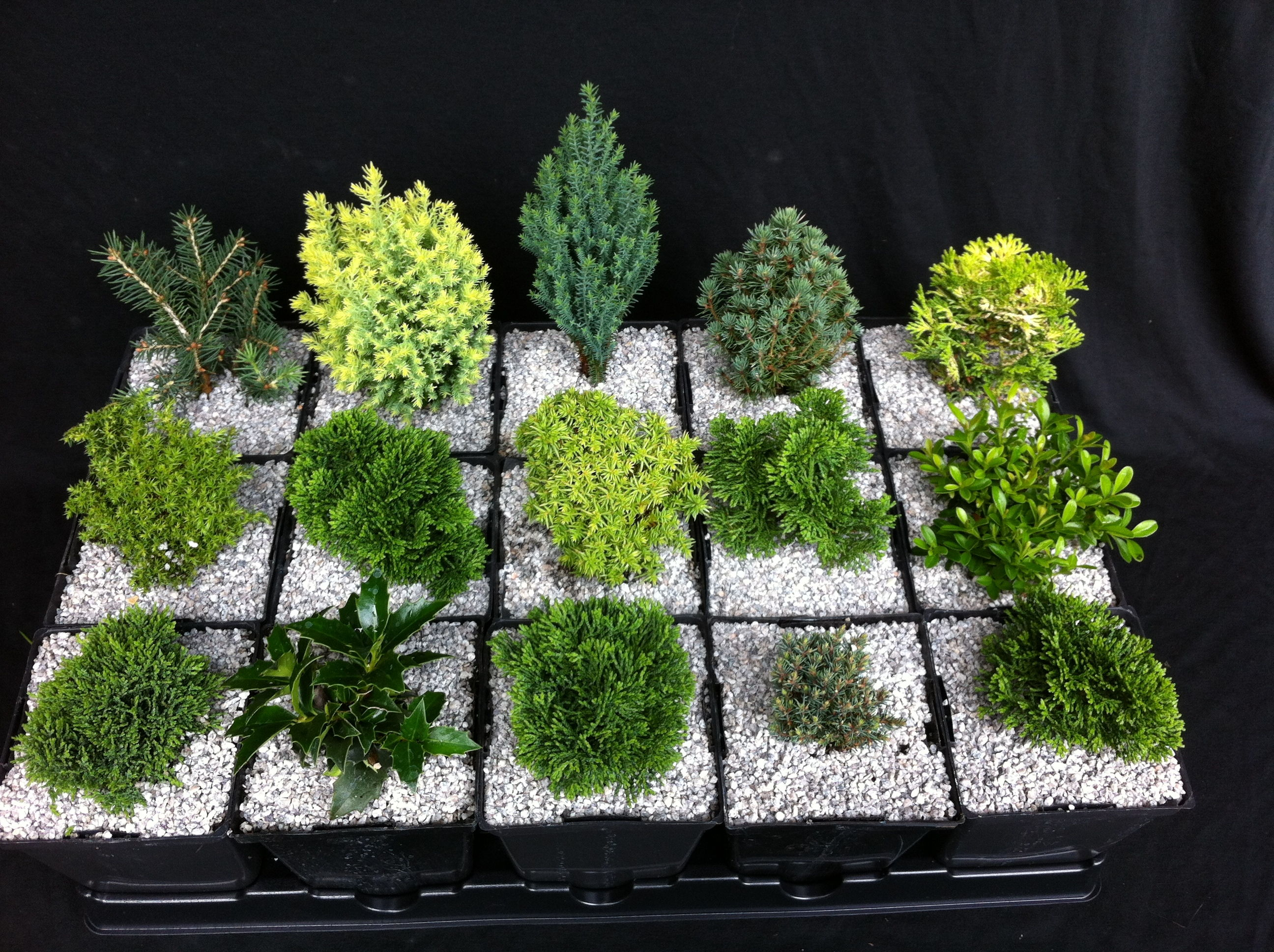 "4"" Miniature Plant Collection (Zone 5-6) - DWF 0660"