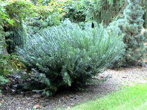 Cephalotaxus har duke gardens 39 stanley and sons nursery for Duke gardens plum yew