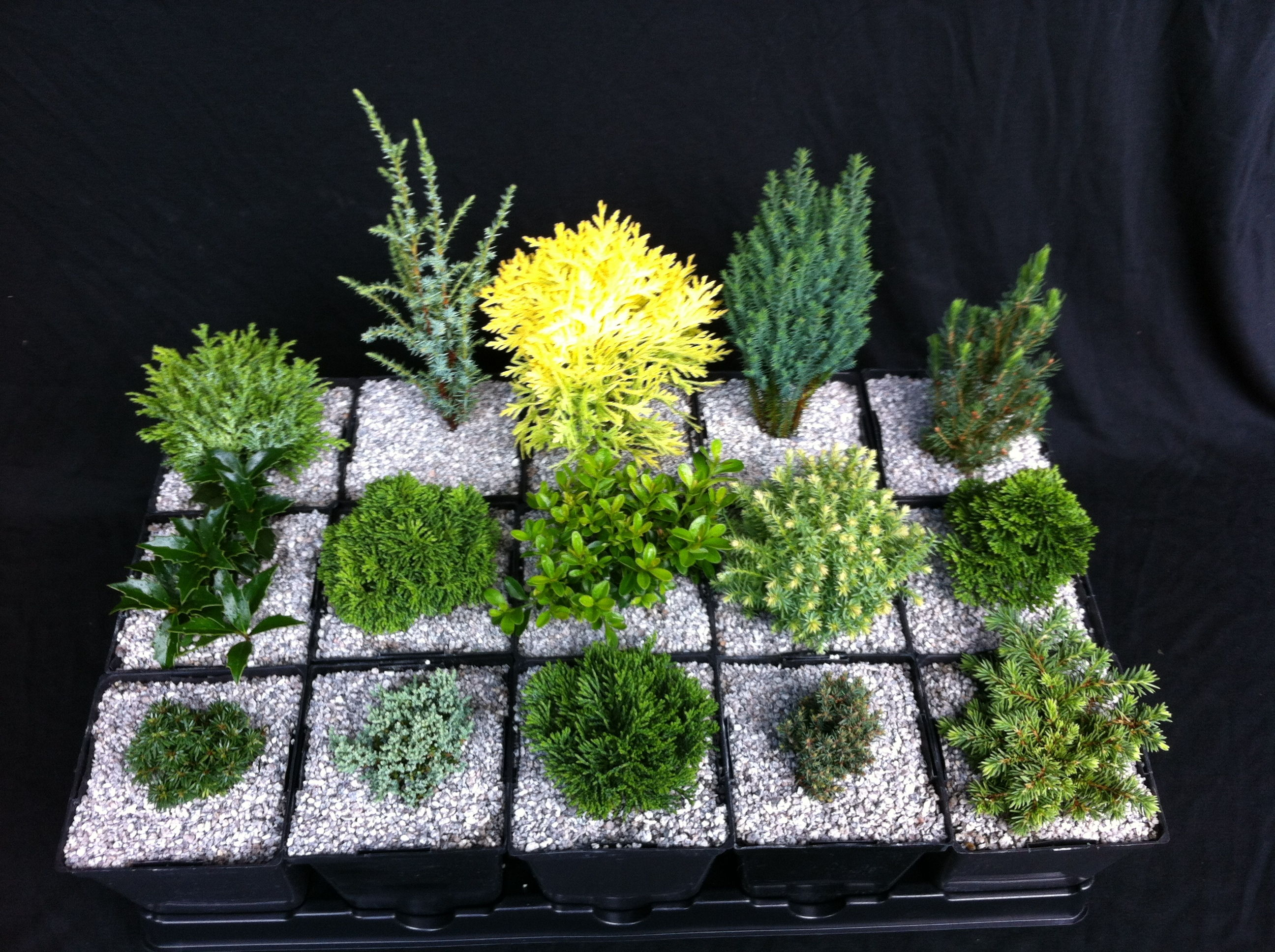 Miniature And Dwarf Conifers Collections Stanley And