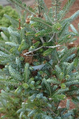 Abies koreana `Frosty'