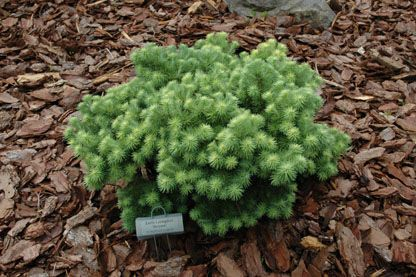 Picea Abies Search Stanley And Sons Nursery