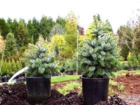 Picea sitchensis `Papoose'