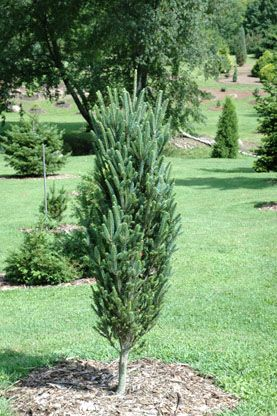 Abies fraseri `Reeseville Selection'