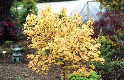 Acer circinatum `Sunglow'