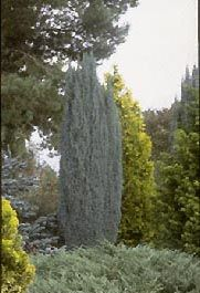 Cham lawsoniana `Blue Surprise'